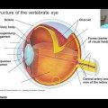 Nervous System & the Eye